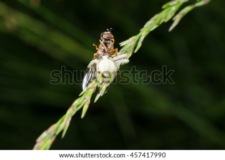 crab spider caught hover fly (diagonal) - stock photo