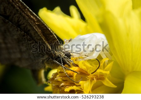 Crab spider feeding on butterfly