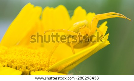 Crab spider on yellow flower - stock photo
