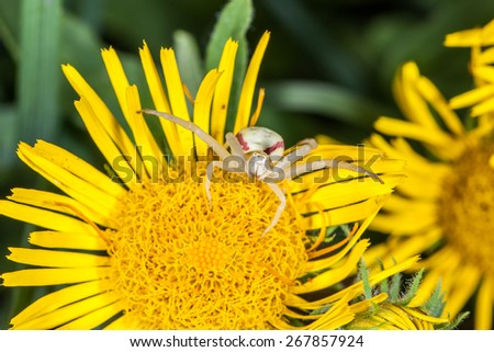 Crab spider on yellow flower is ready for attack. Macro, closeup - stock photo