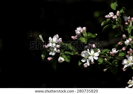 Crabapple blossoms - stock photo