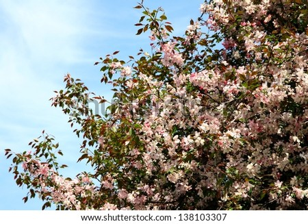 crabapple tree with pink flowers