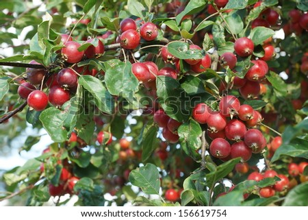 Crabapples on a tree with foliage