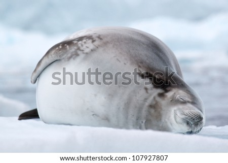 Crabeater seal asleep on an iceberg in antarctica