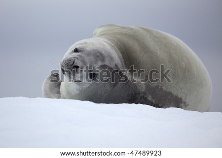 Crabeater seal resting on ice floe, Antarctic Peninsula, Antarctica