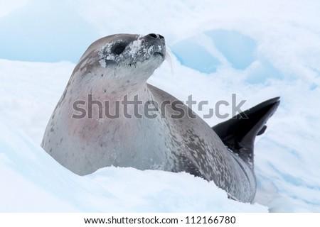crabeater seal sitting on iceberg in antarctica - stock photo