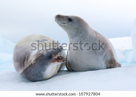 Crabeater seals fighting in Antarctica