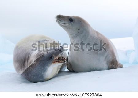 Crabeater seals fighting in Antarctica - stock photo