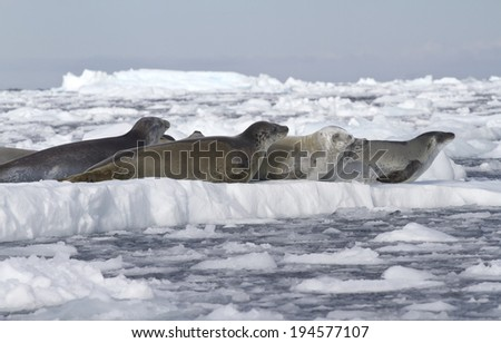 crabeater seals flock resting on an ice floe near the Antarctic Peninsula 1