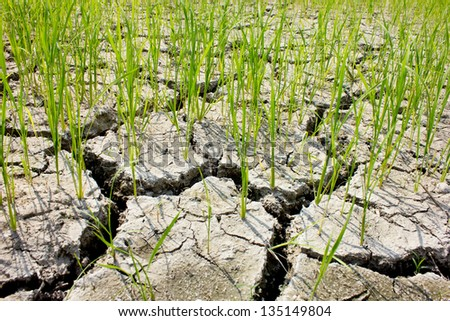 cracked dried land of rice field