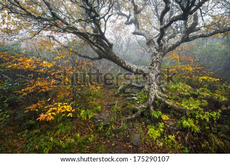 Craggy Gardens North Carolina Blue Ridge Parkway Autumn NC scenic landscape photography featuring foggy conditions around an old beech tree in the fog during the fall foliage