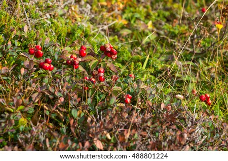 Cranberries in Newfoundland, Canada
