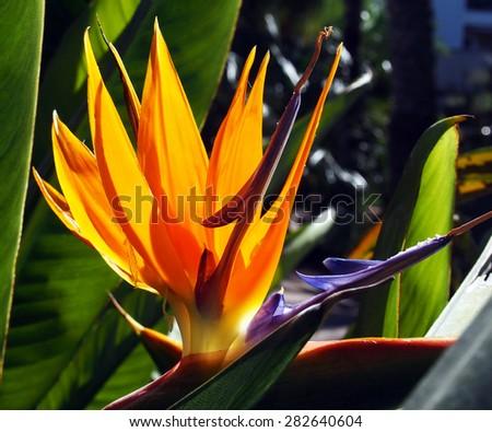 Crane flower, bird of paradise, orange strelitzia - stock photo