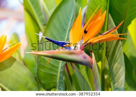 Crane flower or Bird of Paradise - stock photo