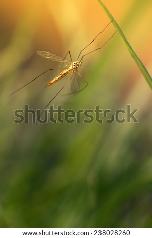crane fly in the grass - stock photo