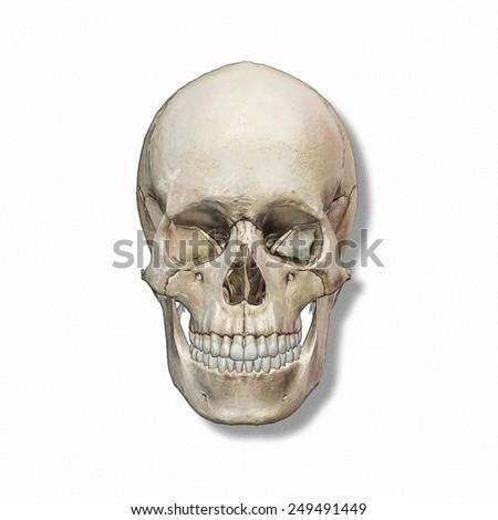 Craneo Humano Ilustración de stock249491449: Shutterstock