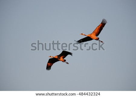Cranes in Flight in Spring