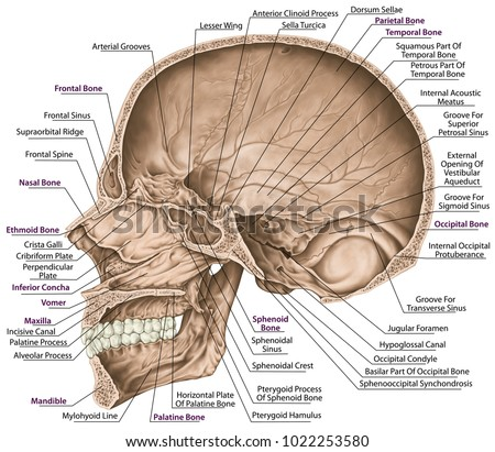 Cranial Cavity Bones Cranium Bones Head Stock Illustration ...