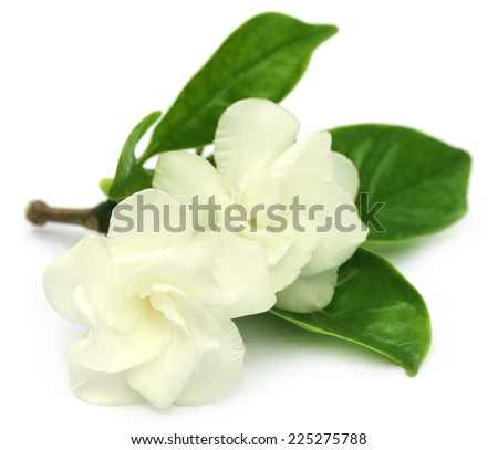 Crape Jasmine or Tagar Flower of Indian subcontinent over white background - stock photo
