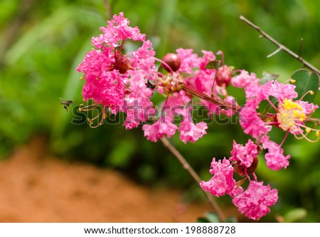 Crape myrtle flower - stock photo