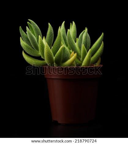 Crassula mesembryanthemoides. Houseplant. Succulent. - stock photo