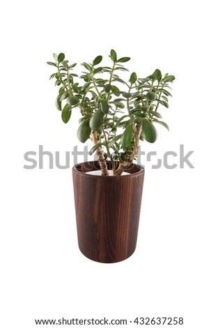 Crassula ovata.Green succulent plant in modern  wooden pot isolated on white background - stock photo