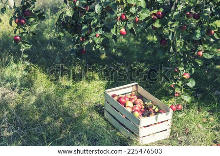 Crate of apples under apple tree