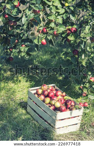 Crate of  frganic apples under apple tree - stock photo