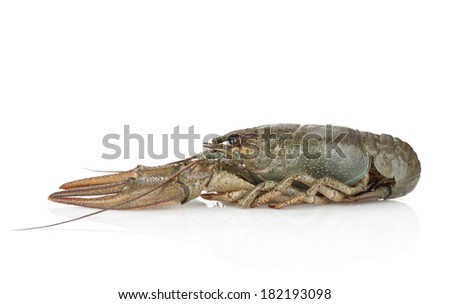 Crawfish. Isolated on a white background