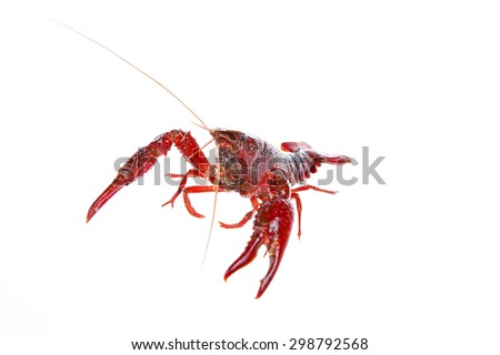 Crawfish, white background, close-up