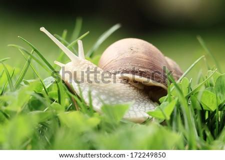 Crawler snail. Creeper snail after rain on the grass. Helix pomatia. - stock photo