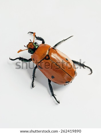 Crawling Masked Chafer Beetle - stock photo