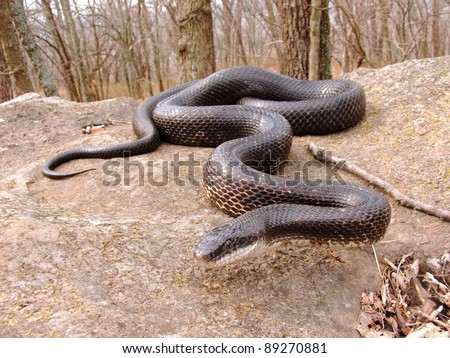 Crawling snake hunting food in early spring - Black Rat Snake, Pantherophis obsoleta - stock photo