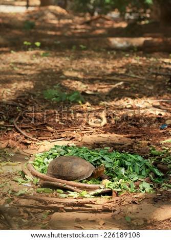 Crawling tortoise eating morning glory - stock photo