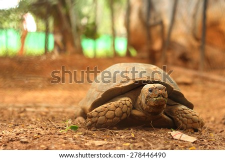 Crawling tortoise in the nature at the zoo - stock photo