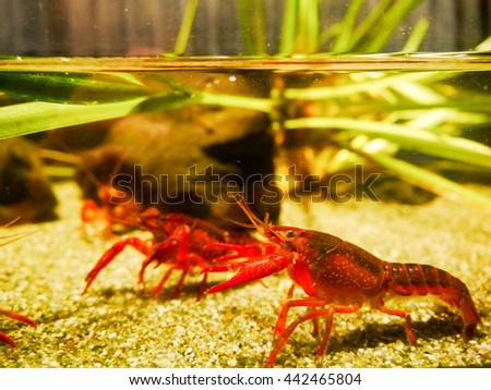 Crayfish in the water tank - stock photo