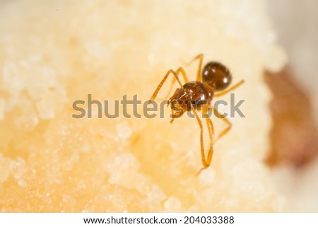 Crazy Ant,  Nylanderia flavipestiny - stock photo