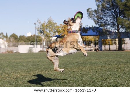 Crazy catch of a disk by a bulldog - stock photo