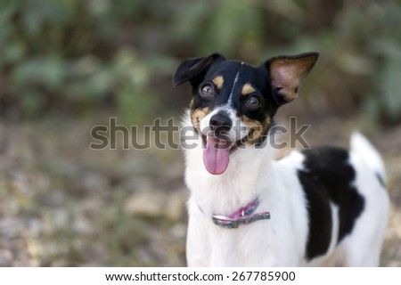 Crazy Curious dog is looking happily with his tongue hanging out. - stock photo