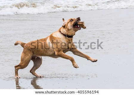 Crazy eyed wet dog (yellow Labrador retriever) fetches a stick on the beach in Carmel by the Sea in California. - stock photo