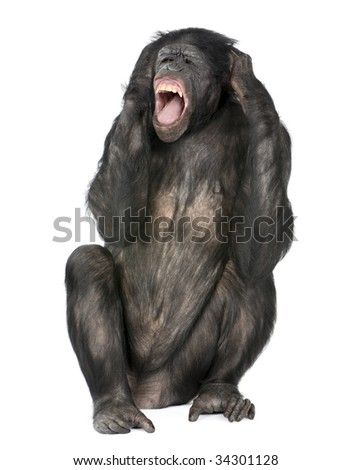 crazy monkey screaming, sitting (Mixed-Breed between Chimpanzee and Bonobo) (20 years old) in front of a white background