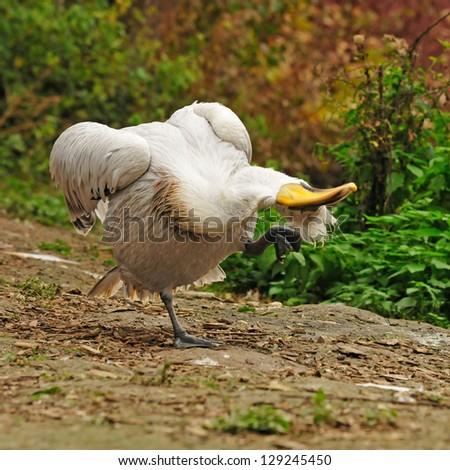 crazy pelican - stock photo
