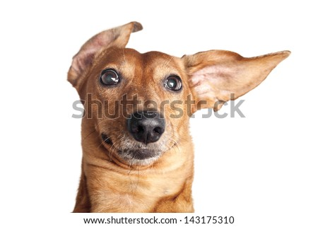 crazy portrait of brown dachshund dog isolated on white background - stock photo