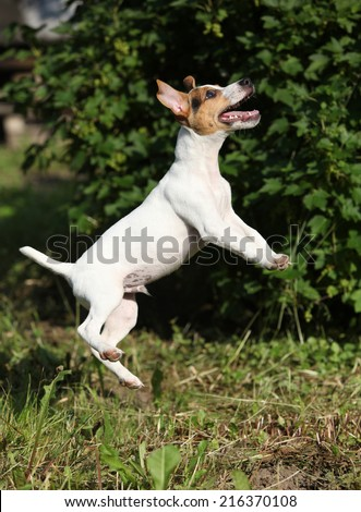 Crazy puppy of jack russell terrier jumping in the garden - stock photo
