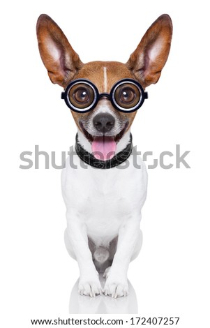 crazy silly dog with funny glasses showing tongue full body