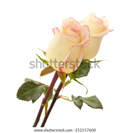 cream and pink variegated rose isolated on white background - stock photo