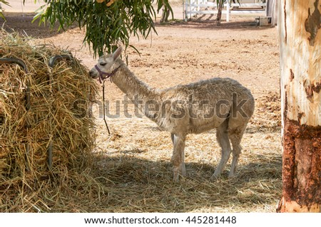 Cream colored llama feeding at a hay feeder in Western Australian farmland/Llama Lunchtime/Farm Animals