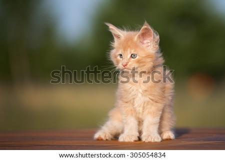 cream maine coon kitten portrait outdoors - stock photo
