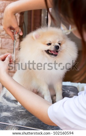cream pomeranian smile is cutting - stock photo