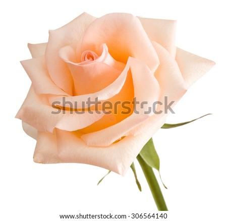 Cream rose closeup isolated on white background - stock photo